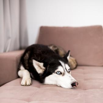 Husky relajando en sofá