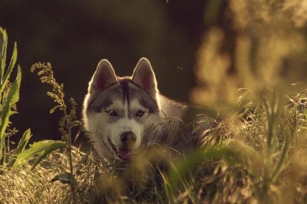 Husky siberiano camina en la hierba