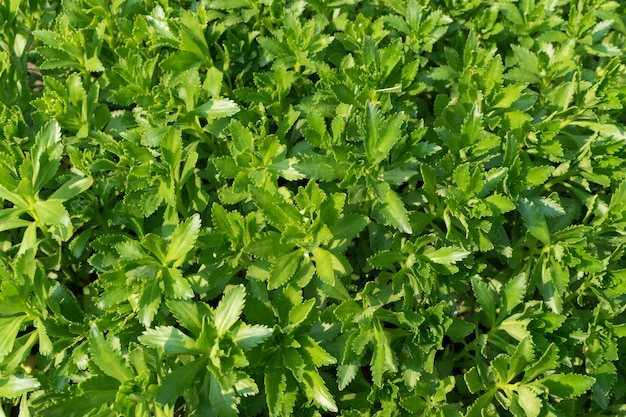 Hylotelephium verticillatum, sedum spectabile, llamativo cultivo de piedra, planta de hielo o cultivo de mariposa