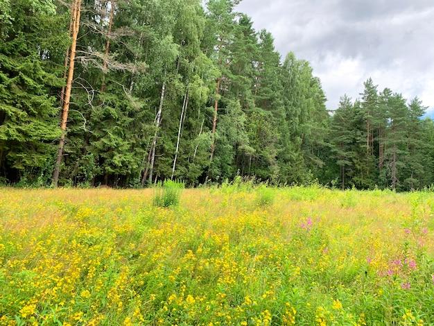 Hypericum perforatum crece en el campo, plantas medicinales.