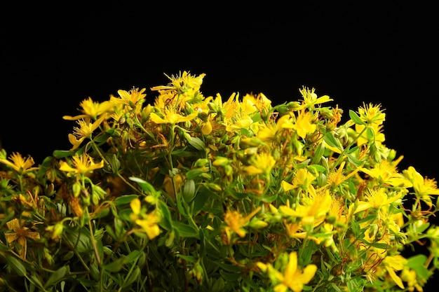 Hypericum perforatum flores amarillas