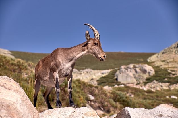 Ibex alpino o capra pyrenaica en la cima de la montaña contra el cielo azul en la sierra de gredos