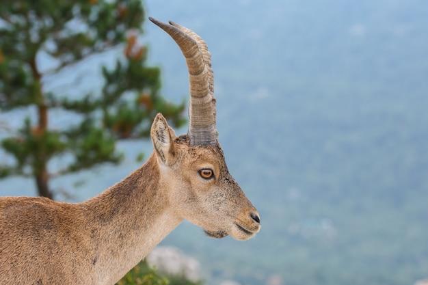 Ibex español en la naturaleza