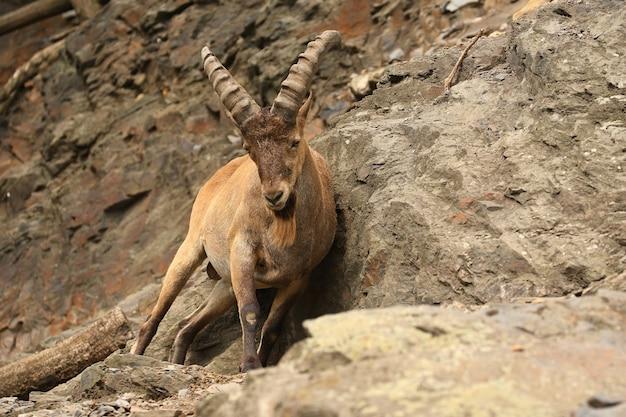 Ibex en la zona de la montaña rocosa