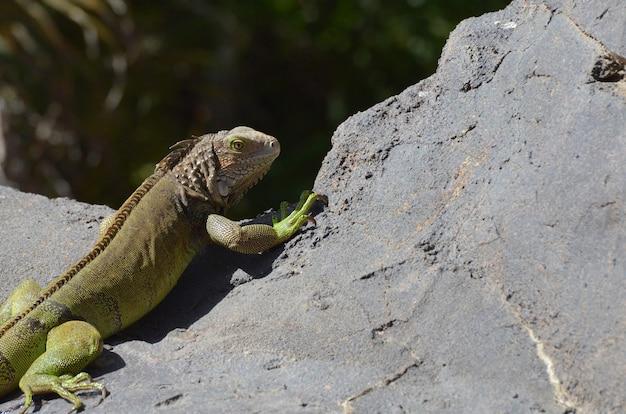 Iguana común que alcanza su punto máximo sobre el borde de una roca en aruba.