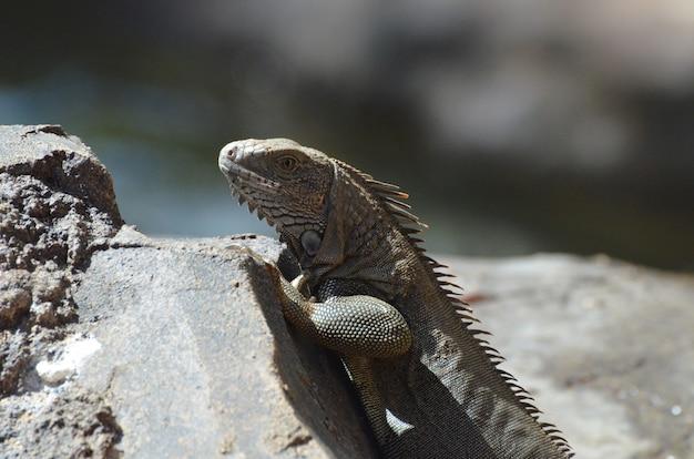 Iguana marrón encaramada en la parte superior de una roca.