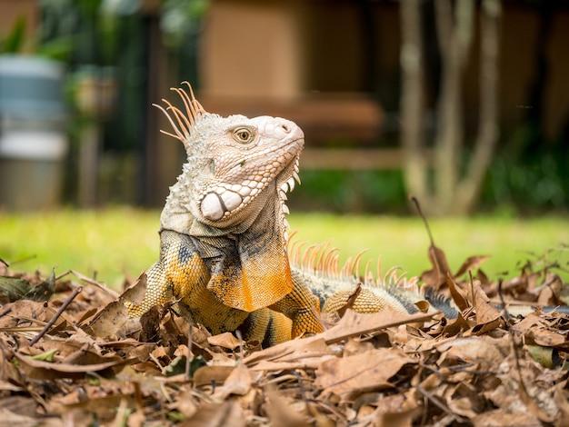 Iguana mirando a la hierba marrón