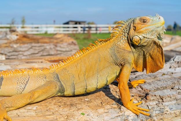 La iguana verde común iguana iguana la iguana americana