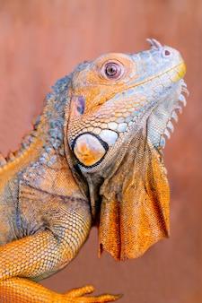 La iguana verde común iguana iguana