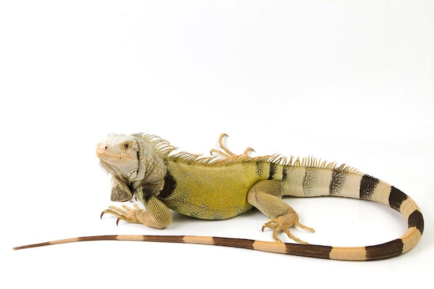 Iguana verde grande aislado sobre un fondo blanco.