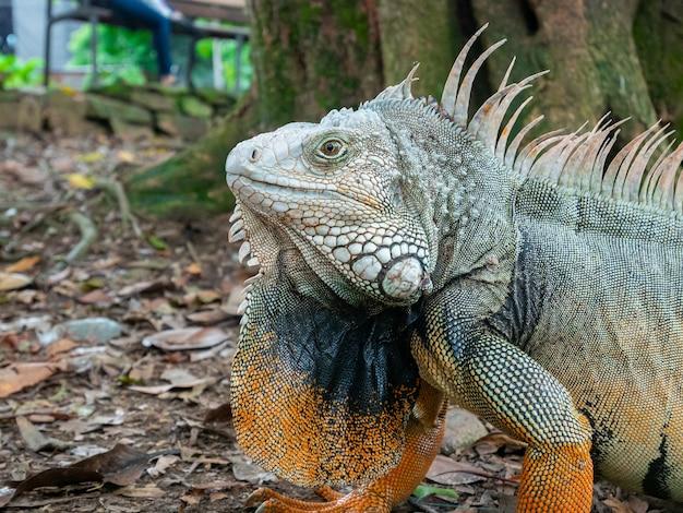 Iguana verde mirando fijamente a la tierra seca