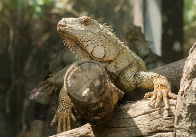 Iguana en el zoológico abierto, tailandia