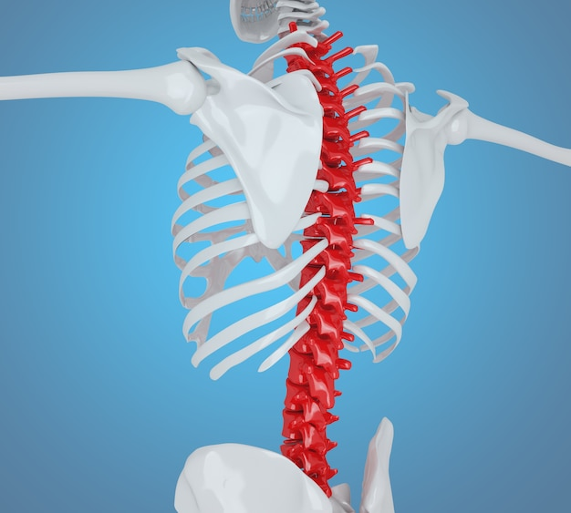 Illustration 3d. parte posterior del esqueleto humano, concepto de anatomía del esqueleto.