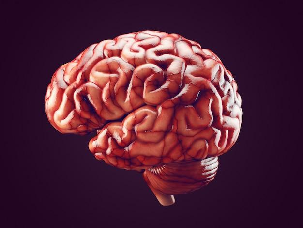 Ilustración 3d realista del cerebro humano con vasos sanguíneos aislados