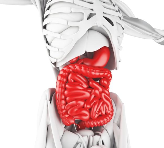Ilustración 3d del sistema digestivo