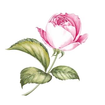 Ilustración acuarela de flores rosas.