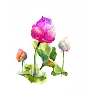Ilustración acuarela pintura de hojas y loto sobre fondo blanco.