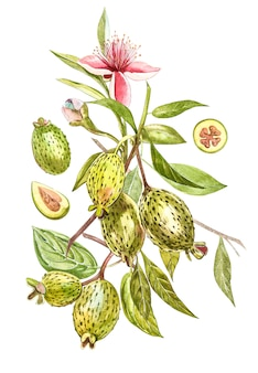Ilustración acuarela planta feijoa. acuarela dibujada a mano en blanco. fondo de acuarela con fruta feijoa, hojas y rodaja de feijoa.