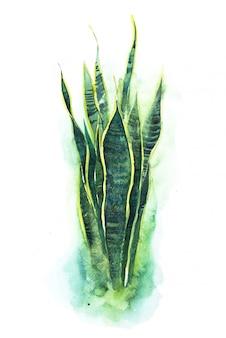 Ilustración de acuarela de planta de lengua de serpiente