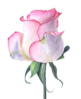 Ilustración acuarela vintage rosa rosa aislado