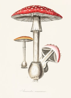 Ilustración de amanita muscaria de medical botany (1836)