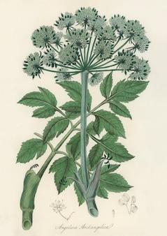 Ilustración de ángel changelica de botánica médica.