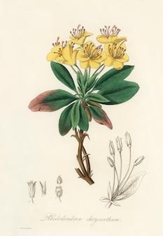 Ilustración del árbol de benjamina de goma (rhododendron chrysanthum) de medical botany (1836)