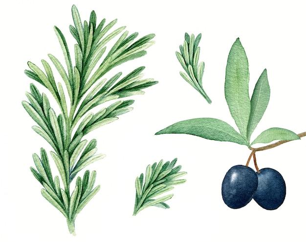 Ilustración botánica de acuarela vintage de romero realista