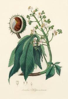 Ilustración europea de castaño de indias (aesculus hippocastanum) de medical botany