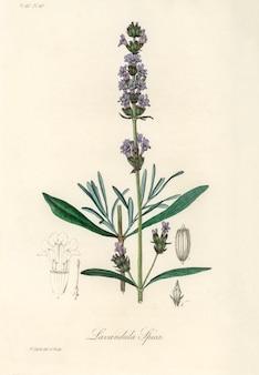 Ilustración de lavanda (lavandula ipica) de medical botany (1836)