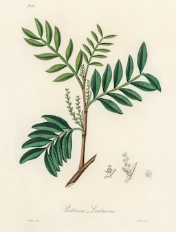 Ilustración de lentisk (pistacia lenitiscus) de medical botany (1836)