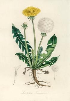 Ilustración de leontodon taraxacuma de medical botany (1836)