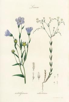 Ilustración de lino (linum) de medical botany (1836)