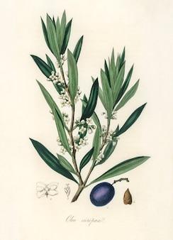 Ilustración de oliva (olea europaea) de medical botany (1836)