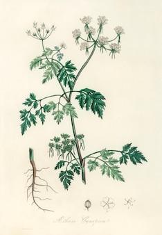 Ilustración de perejil venenoso (aethusa cynapium) de medical botany (1836)