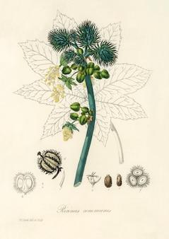 Ilustración de la planta de aceite de ricino (ricinus communs) de medical botany (1836)