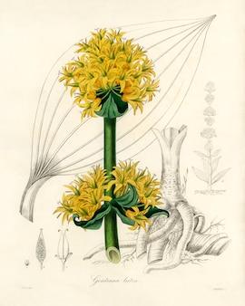 Ilustración de la raíz amarga (gentiana lutea) de medical botany (1836)