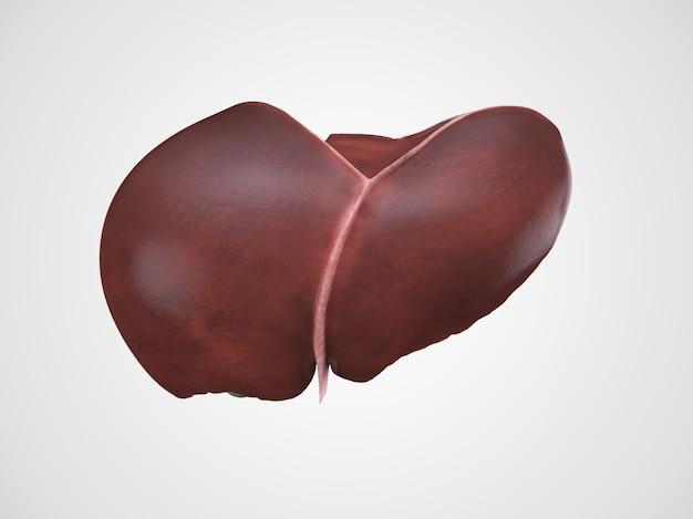 Ilustración realista del hígado humano
