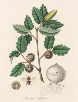 Ilustración de roble de alepo (luercus infectoria) de medical botany (1836)