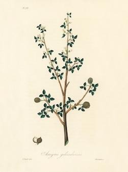 Ilustración de torchwoods (amyris gileadensis) de medical botany (1836)