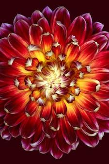 Ilustración vertical de una magnífica flor roja y amarilla