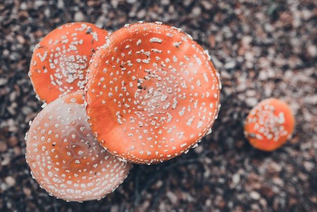 Imagen aérea de algunos hongos no comestibles en el bosque. temporada de recogida de setas