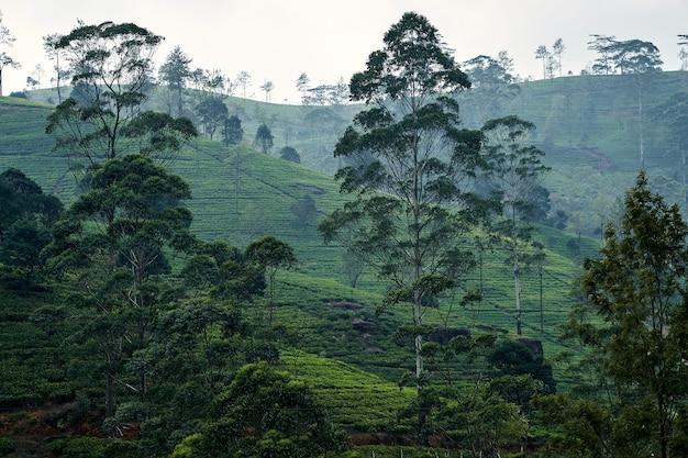 Imagen de asiento de plantación de té de paisaje de lipton