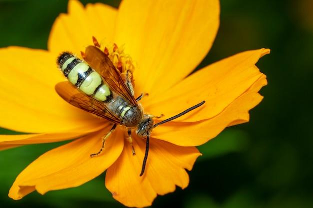 Imagen de beewolf o beewolves o beewolves (philanthus) en flor amarilla