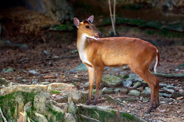 Imagen de ciervos barking o muntjac (muntiacini) en el suelo. fauna animales.