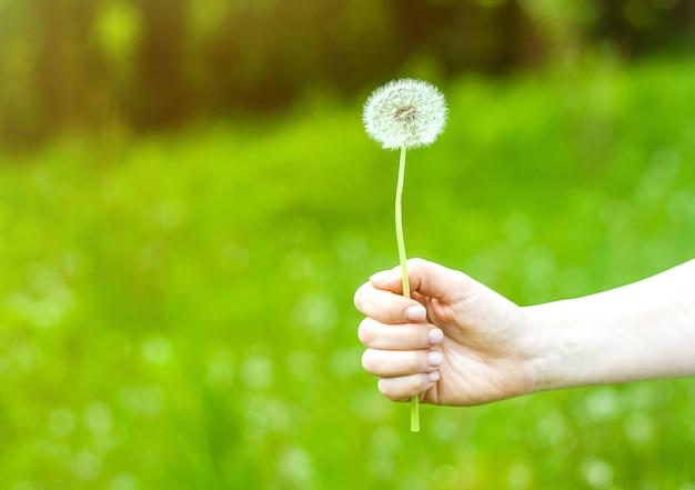 Imagen encantadora del verano de una mano femenina que sostiene el diente de león contra fondo de la hierba