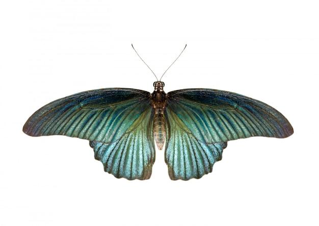 Imagen de la gran mariposa mormona masculina (papilio polytes) aislado sobre fondo blanco.