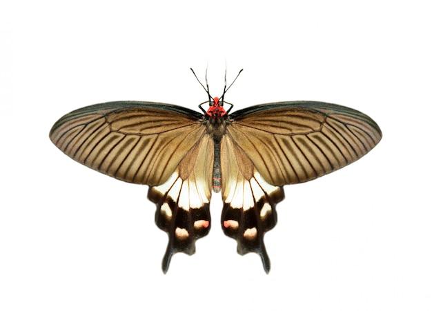 Imagen de la hembra de la gran mariposa mormona (papilio polytes) aislado sobre fondo blanco.