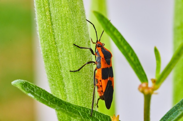 Imagen de hoja verde con escalada de insecto de semilla de algodoncillo
