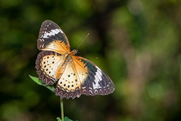 Imagen de leopard lacewing butterfly (hembra)., insecto. animal.